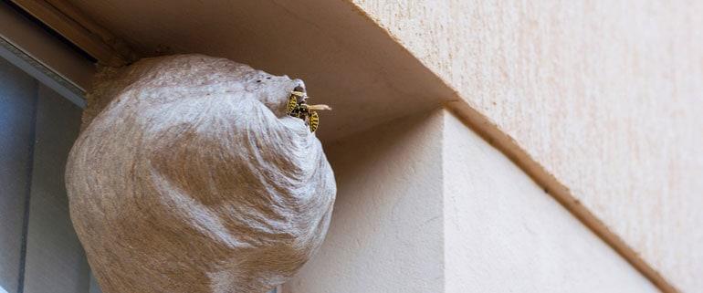 Nest Wespe Fenster